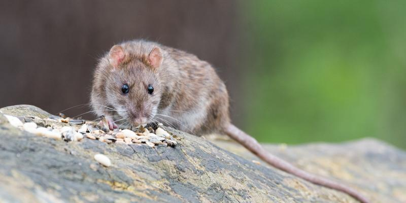 Brown mouse sitting on a log outside.