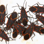 Cluster of boxelder bugs with a white background.