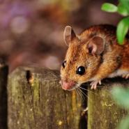 Brown mouse on a wood log